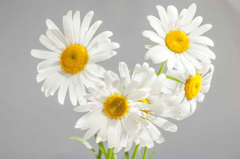 chamomile-flowers-bloom-white-daisies-37538.jpeg